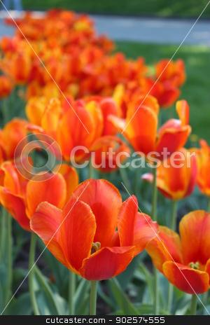 orange tulips on the flower-bed stock photo, image of orange tulips on the flower-bed by Alexander Matvienko