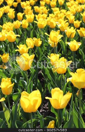 yellow tulips on the flower-bed stock photo, image of yellow tulips on the flower-bed by Alexander Matvienko