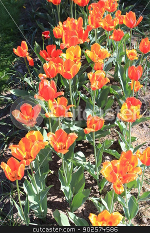 orange tulips on the flower-bed stock photo, image of orange tulips on the flower-bed by Alexander Matvienko