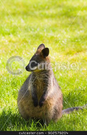 Swamp- or Black Wallaby stock photo, Cute little Swamp- or Black Wallaby on grassland by Colette Planken-Kooij
