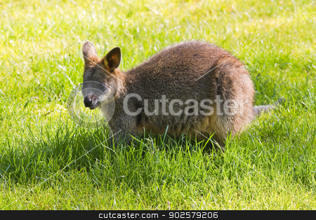 Swamp- or Black Wallaby stock photo, Cute Swamp- or Black Wallaby eating  grass by Colette Planken-Kooij
