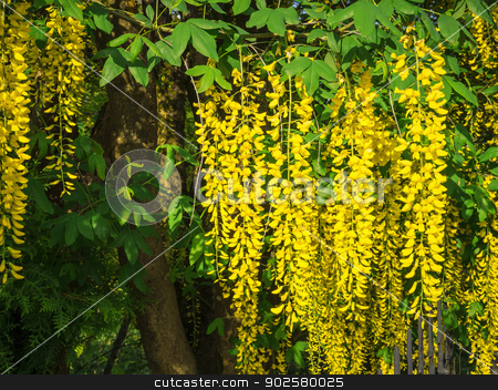laburnum stock photo, An image of a yellow laburnum plant by Markus Gann