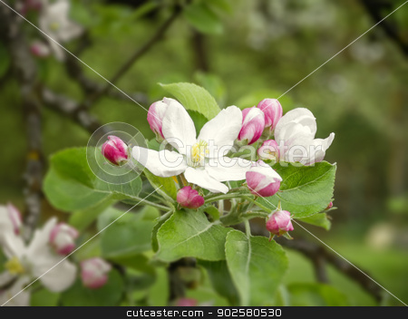 apple blossom stock photo, An image of some nice apple blossoms by Markus Gann