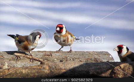 goldfinch stock photo, goldfinch birds argue , nature, wildlife, branch, yellow by dadalia