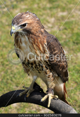 Hawk bird stock photo, Portrit of hawk bird with green nature background. by Martin Crowdy