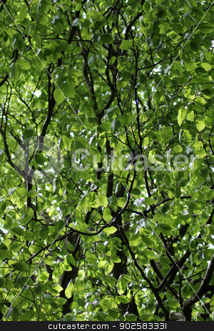 Leafy green branches on tree stock photo, Underside view of leafy green branches on tree.  by Martin Crowdy