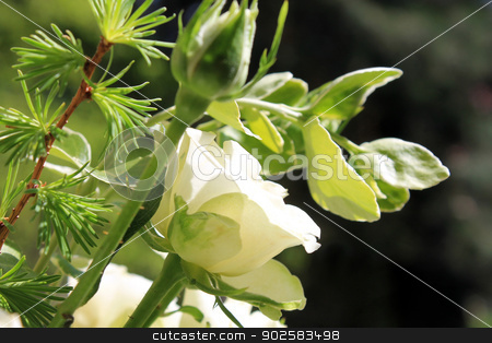 White flower bouquet stock photo, Closeup of white bridal wedding flower bouquet. by Martin Crowdy