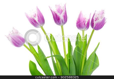 pink tulips  stock photo, pink tulips on white background  by Vitaliy Pakhnyushchyy