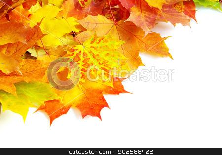 maple leaves stock photo, autumn maple leaves isolated on a white by Vitaliy Pakhnyushchyy