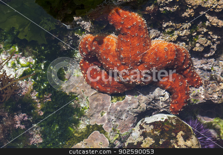 Beautiful Starfish in Shallow Tide Pool stock photo, Beautiful Orange Starfish in Shallow Tide Pool. by Andy Dean