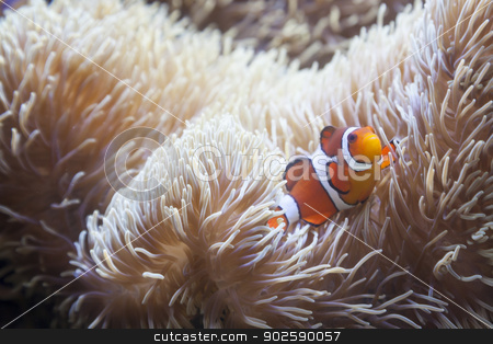Beautiful Clownfish and Sea Anemone stock photo, Beautiful Little Clownfish and Sea Anemone. by Andy Dean