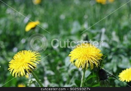 yellow dandelions stock photo, yellow dandelion flowers closeup growing from the grass - taraxacum detail by coroiu octavian