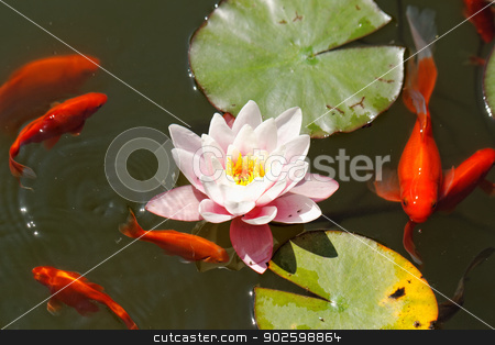 pink water lily stock photo, pink water lily in the lake with goldfish by Jozsef Demeter