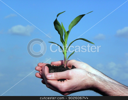 Corn. stock photo, The cultivation of corn. agriculture, nature, field, by dadalia