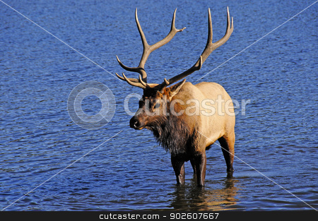 Bull Elk stock photo, A bull elk wading in a lake by Bonnie Fink
