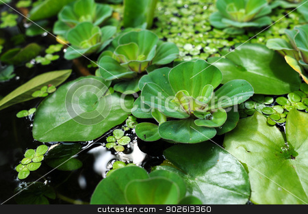 Water lily leaves stock photo, Green water lily leaves in a summer pond by John Young