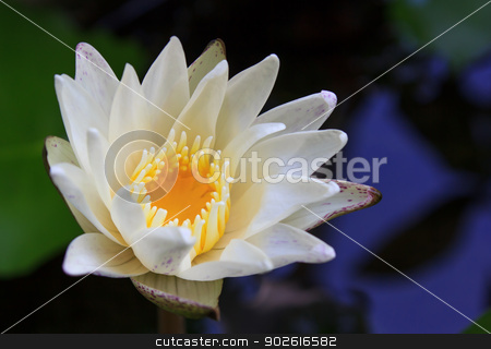 White lotus stock photo,  by aomnet7