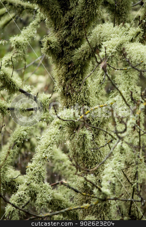 covered in lichen stock photo, View of trees totally covered in lichen. by Mauro Rodrigues