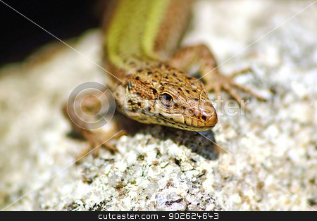 Lizard sunbathing stock photo, Green lizard taking a sunbath by Pedro Campos