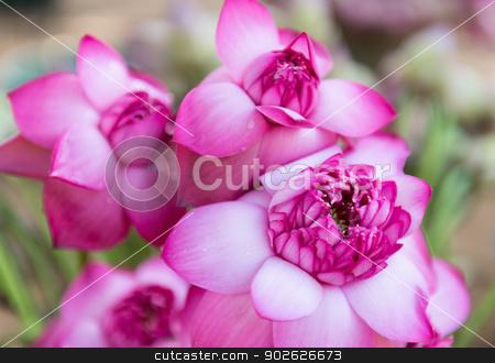 Pink fresh lotus bud flower stock photo, Pink fresh lotus bud flower. Selective focus on the front flower part. by Iryna Rasko