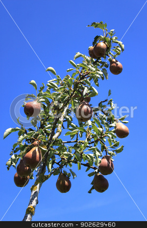 Pear stock photo, a pear tree with pears on blue sky background by Cochonneau