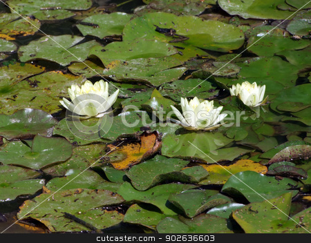 Waterlily flowers stock photo, Beautiful Waterlily on pound in park by Zvonimir Atletic