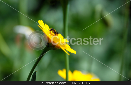 Heriades truncorum bee on a corn marigold stock photo, Heriades truncorum bee, common to southeast England, collecting pollen and nectar on a corn marigold by Sarah Marchant