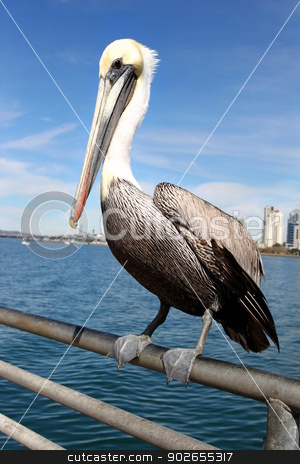 Pelican stock photo, Grey pacific pelican with blue sky and water in the background. by Henrik Lehnerer
