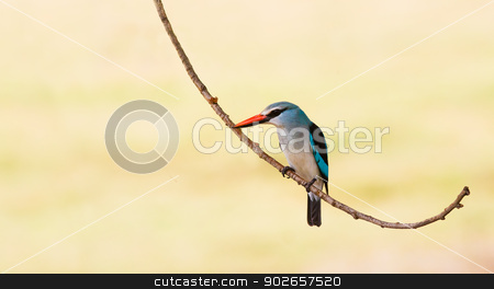 Woodland Kingfisher bird perched on a branch stock photo, Colorful woodland kingfisher bird resting on a branch by Donovan van Staden