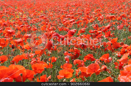 Red poppy field stock photo, Blooming red poppies in field, summer scene. by Martin Crowdy