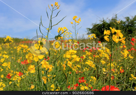 Yellow and red poppy flowers stock photo, Scenic view of yellow and red poppy flowers blooming in field. by Martin Crowdy