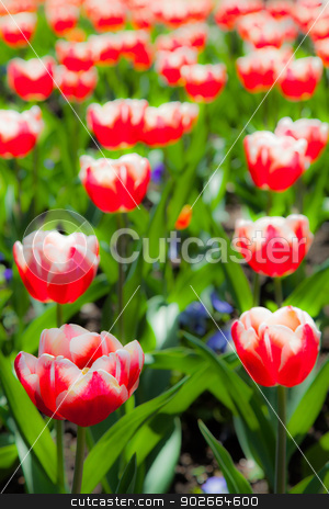 Tulips garden stock photo, Villa Taranto - Italy. Famous Italian garden with a dedicated area for tulips cultivation. by Paolo Gallo