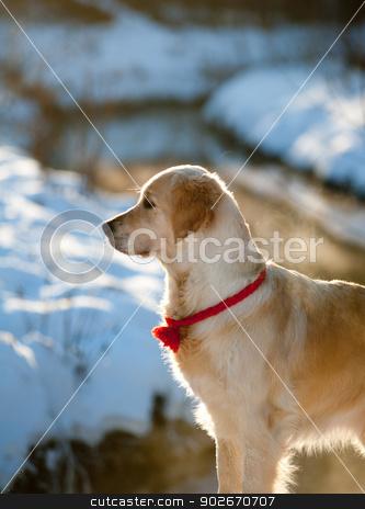 golden retriever in winter stock photo, golden retriever in winter by Maria Itina