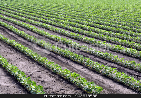 Diagonal rows of soybeans. stock photo, Diagonal rows of young, bright green soybean plants. by RL Boston