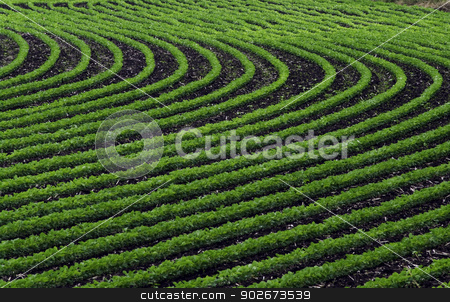 Curved rows of young soybean plants. stock photo, Rows of young, bright green soybean follow parallel curves. by RL Boston