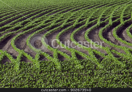 Patterns in rows of soybeans stock photo, Rows of young, bright, soybeans form interesting patterns. by RL Boston