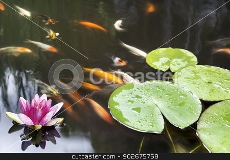 Lily Pad Pink Flower in Koi Pond stock photo, Lily Pad Leaf and Pink Flower Floating in Koi Fish Pond by Jit Lim