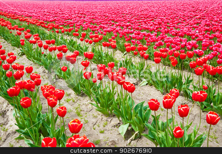 Tulips stock photo, Red and pink tulips in Skagit Valley by Jaime Pharr