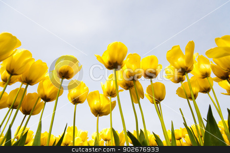 Tulips stock photo, Yellow tulips in Skagit Valley by Jaime Pharr