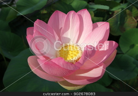 Pink waterlily or lotus flower stock photo, Close up on beautiful white water lily or lotus flower and leaves in a pond by Elenarts