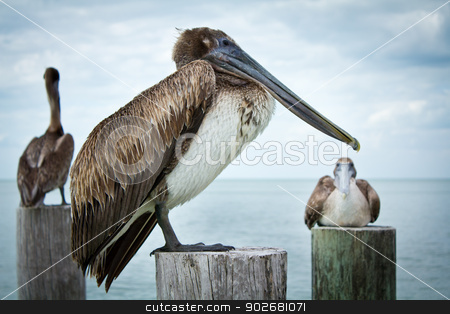 Pelicans up close stock photo, Three pelicans sitting and standing on old wooden pier stumps with the ocean in the background on a mainly cloudy day.   by Amanda Webb