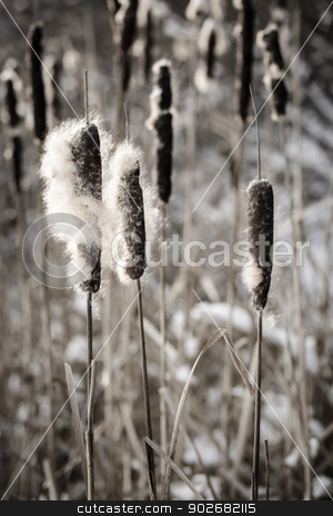 Cattails in winter stock photo, Brown cattails with fluffy seeds in winter by Elena Elisseeva