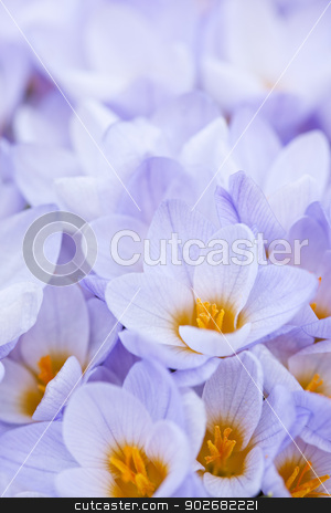 Abundant crocus blossoms stock photo, Closeup of many beautiful light purple crocus flowers blossoming by Elena Elisseeva
