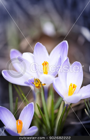 Bee on spring crocuses stock photo, Pollen covered bee sitting on blooming crocus flowers in spring by Elena Elisseeva