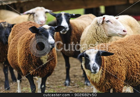 Sheep on a farm stock photo, Group of cute sheep standing on small scale biodynamic farm by Elena Elisseeva