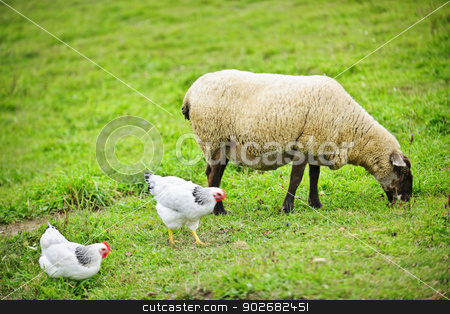 Sheep and chickens grazing on farm stock photo, Sheep and chickens freely grazing on a small scale sustainable farm by Elena Elisseeva