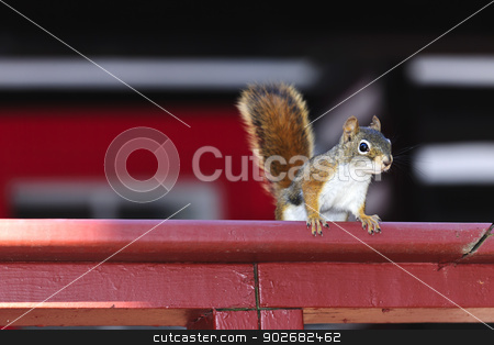 Tree squirrel on red railing stock photo, Alert tree squirrel with bushy tail on wooden red railing by Elena Elisseeva