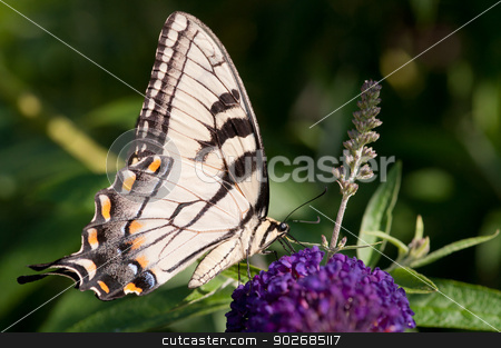 Tiger Swallowtail stock photo, An eastern tiger swallowtail on a butterfly bush. by Joe Tabb