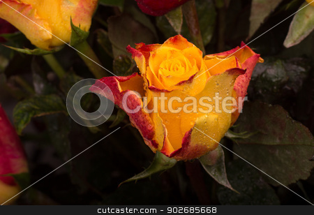 Rose stock photo, A closeup shot of a beautiful yellow and red colored rose by derejeb