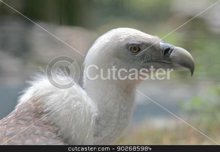 Griffon vulture portrait stock photo, Griffon vulture (gyps fulvus) close up portrait by Elenarts